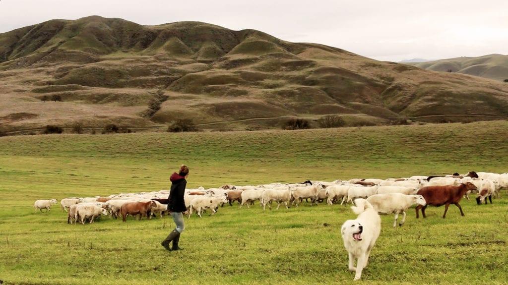 Jessie Maier herding sheep.