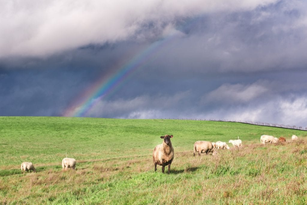 Paicines Rainbow Ranch Sheep -by Alicia Arcidiacono
