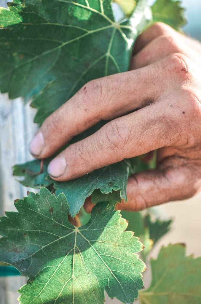 Paicines Ranch Vineyard Grape Leaf