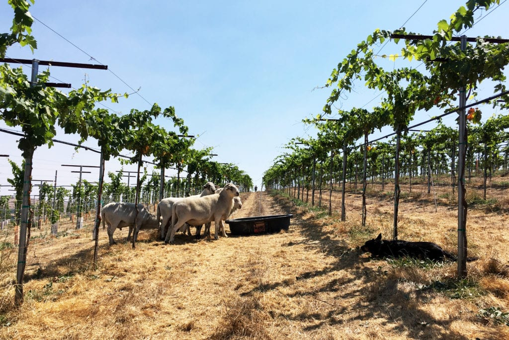 Sheep in Budding Paicines Vineyard