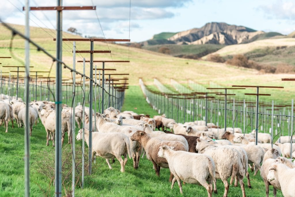 Sheep Grazing Paicines Ranch Vineyard by Alicia Arcidiacono