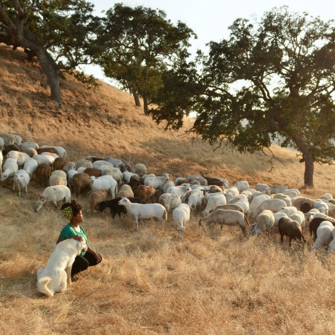 Shepherdess among sheep Paicines Ranch by Alicia Arcidiacono